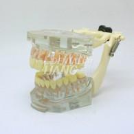 Transparent Model DM 101 #HL-60101