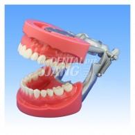 기본 실습용 치아 모형 #D51DP-500A