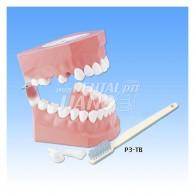 성인용 잇솔질 교육 모형 #P3B-705 with Brush