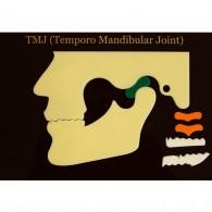 [반품불가] TMJ Simulator #TMD1201 (환자설명용 턱관절 모델)
